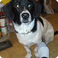 Adopt A Pet :: Kobe - Mount Kisco, NY