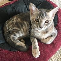 Adopt A Pet :: Pidge - Houston, TX