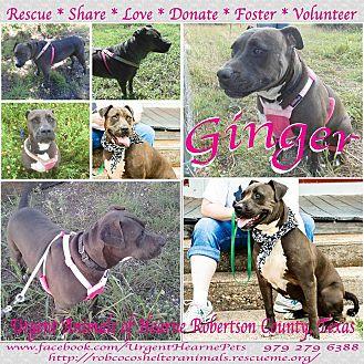 Pit Bull Terrier Dog for adoption in Hearne, Texas - Ginger