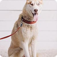 Adopt A Pet :: Tonka - Portland, OR