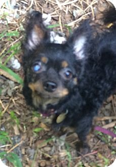 Chihuahua Mix Dog for adoption in Oak Ridge, New Jersey - Ogden