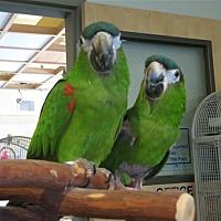 Macaw for adoption in Elizabeth, Colorado - Lucy