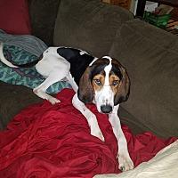 Adopt A Pet :: Bongo - Avon, OH