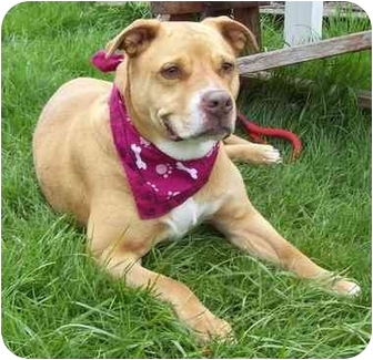 American Pit Bull Terrier/American Pit Bull Terrier Mix Dog for adoption in Howes Cave, New York - Flower - On Hold