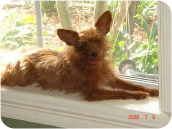 Yorkie, Yorkshire Terrier/Chihuahua Mix Dog for adoption in Statewide and National, Texas - Hannah - LA