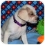 Photo 3 - Spaniel (Unknown Type)/Terrier (Unknown Type, Small) Mix Puppy for adoption in Broomfield, Colorado - Piglet