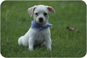 Chihuahua Mix Puppy for adoption in Cranford, New Jersey - Charlie