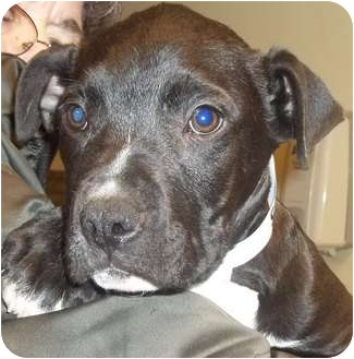Pit Bull Terrier Mix Puppy for adoption in Brazil, Indiana - Patch