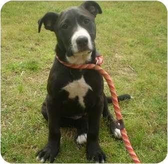 Labrador Retriever/Pointer Mix Puppy for adoption in Adamsville, Tennessee - CoCo