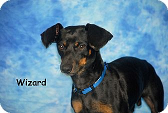 Dachshund/Chihuahua Mix Dog for adoption in Ft. Myers, Florida - Wizard