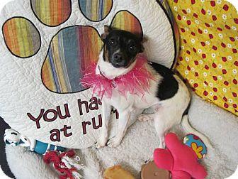 Rat Terrier Mix Dog for adoption in Lexington, Kentucky - Dutches