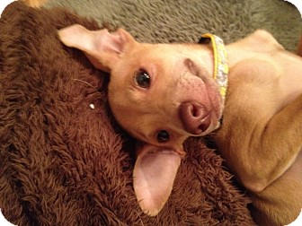 Pharaoh Hound/Whippet Mix Puppy for adoption in Brea, California - Sinclair