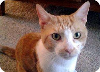 Domestic Mediumhair Cat for adoption in Alexandria, Virginia - Cody