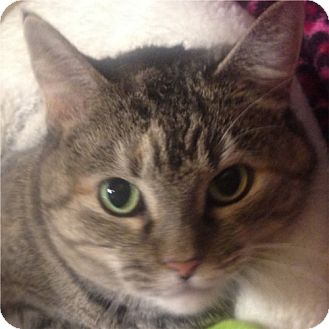 Domestic Shorthair Cat for adoption in Weatherford, Texas - Kiki
