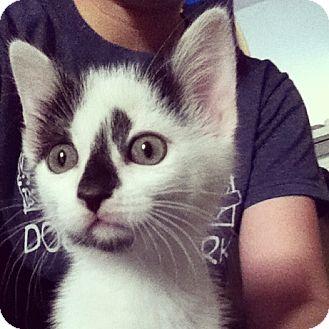 Domestic Shorthair Kitten for adoption in Gainesville, Florida - Miss Kitty Purrsalot