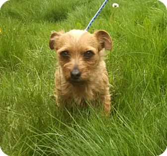 Cairn Terrier/Jack Russell Terrier Mix Dog for adoption in Seattle, Washington - Fergus