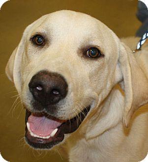 Labrador Retriever Dog for adoption in Cheney, Kansas - Samson