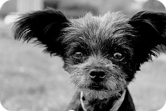 Yorkie, Yorkshire Terrier/Pomeranian Mix Dog for adoption in College Station, Texas - Gizmo