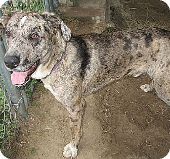 Great Dane Mix Dog for adoption in Grand Saline, Texas - Thor
