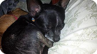 Chihuahua Dog for adoption in Astoria, New York - Horatio