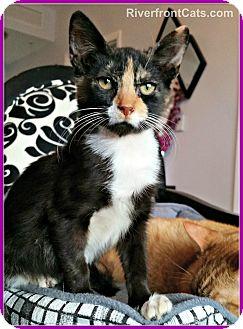 Calico Kitten for adoption in Miami, Florida - Sobe