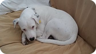 Pit Bull Terrier Mix Puppy for adoption in San Antonio, Texas - Chief Junior