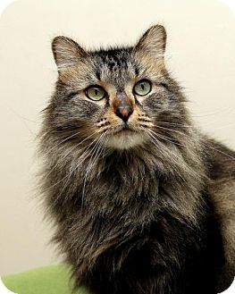 Domestic Longhair Cat for adoption in Bellingham, Washington - Willard