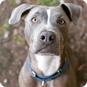 Poppy | Adopted Puppy | Los Angeles, CA | Pit Bull Terrier ... |Weimaraner Lab Pit Mix