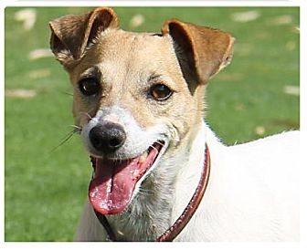 Jack Russell Terrier Mix Dog for adoption in Coachella, California - Bambi (Buddy's Sis)