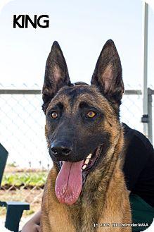 Belgian Malinois Dog for adoption in Patterson, California - King