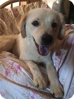 Golden Retriever Mix Dog for adoption in East Hartford, Connecticut - Sandy-pending adoption