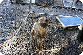 Labrador Retriever Mix Dog for adoption in Henderson, North Carolina - Dan*
