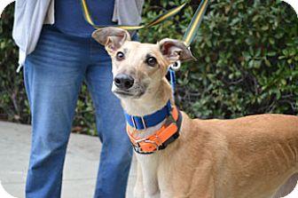 Greyhound Dog for adoption in Walnut Creek, California - Saint