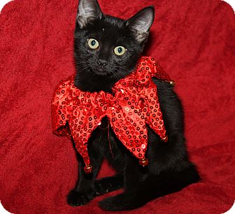 Domestic Shorthair Kitten for adoption in Marietta, Ohio - Velvet (Spayed)