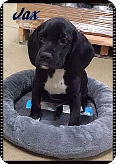 English Bulldog/Cocker Spaniel Mix Puppy for adoption in Ahoskie, North Carolina - Jax