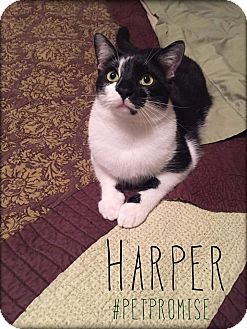 Domestic Shorthair Cat for adoption in Columbus, Ohio - Harper