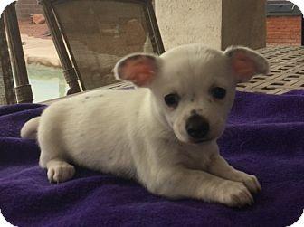 Rat Terrier Mix Puppy for adoption in Las Vegas, Nevada - Precious's Dot