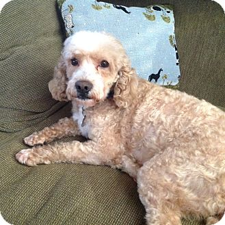 Cockapoo Mix Dog for adoption in Mt. Prospect, Illinois - Chowder