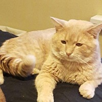 Domestic Shorthair Cat for adoption in Bloomington, Illinois - Cipher