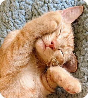 Domestic Shorthair Kitten for adoption in Trevose, Pennsylvania - Pluto