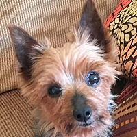 Adopt A Pet :: Bitsy - Chesterfield, MO