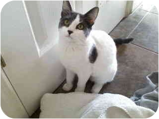 Domestic Shorthair Cat for adoption in Little Falls, New Jersey - Tuesday