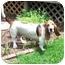 Photo 2 - Basset Hound Dog for adoption in Montgomery, Alabama - Scout