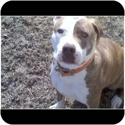 American Pit Bull Terrier Mix Dog for adoption in Raymond, New Hampshire - Goofy