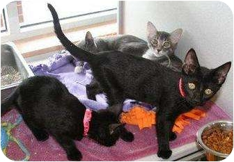 Domestic Shorthair Cat for adoption in Houston, Texas - Amulet