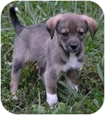 Beagle Mix Puppy for adoption in Foster, Rhode Island - Angela