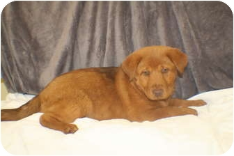 Chow Chow Mix Puppy for adoption in Georgetown, South Carolina - Aphrodite