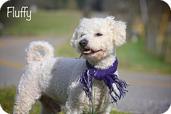 Bichon Frise Dog for adoption in Wilmington, Delaware - Fluffy