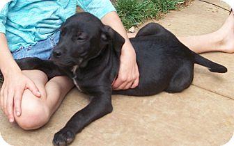 Labrador Retriever/Border Collie Mix Puppy for adoption in Sacramento, California - Pertunia mellow easy pup