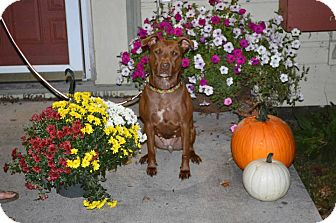 Labrador Retriever/American Pit Bull Terrier Mix Dog for adoption in Roaring Spring, Pennsylvania - Sadie